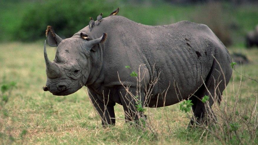 uganda-rhino